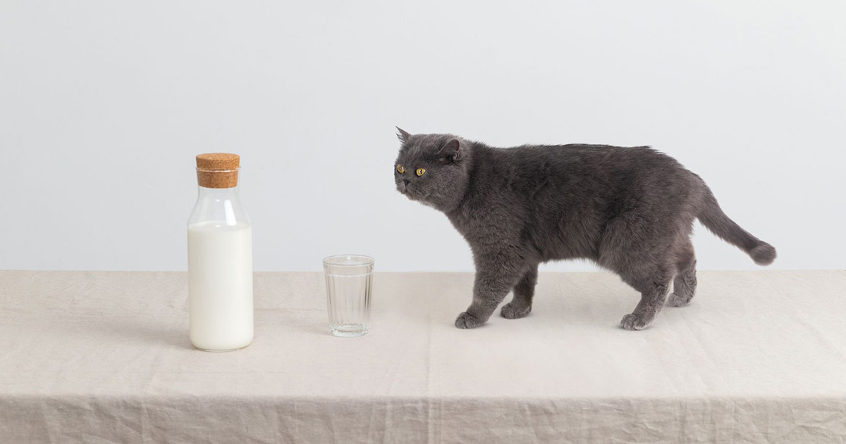 Catgratulations: special collection of frisky graphics for International Cat Day: A cat moving closer to a milk bottle